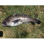 photo of a black sea bass on the grass