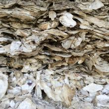 Close-up view of oyster shell layers in a midden.